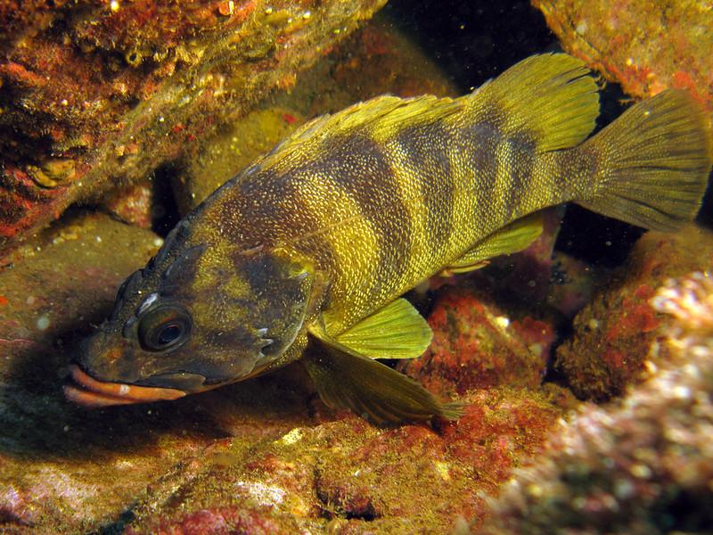 A treefish - Sebastes serriceps