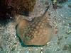 Round Stingray - Urobatis halleri