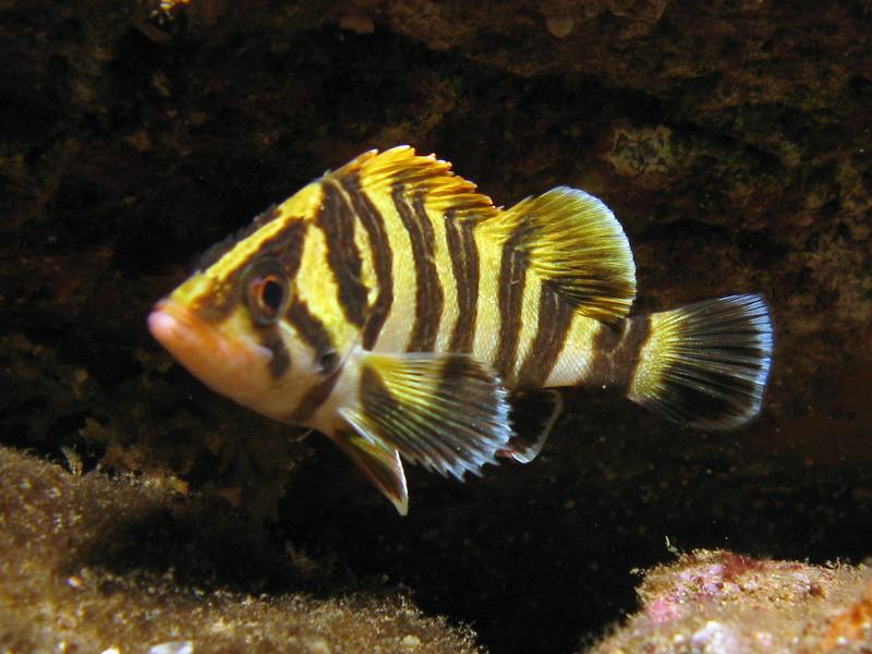 Treefish - Sebastes serriceps