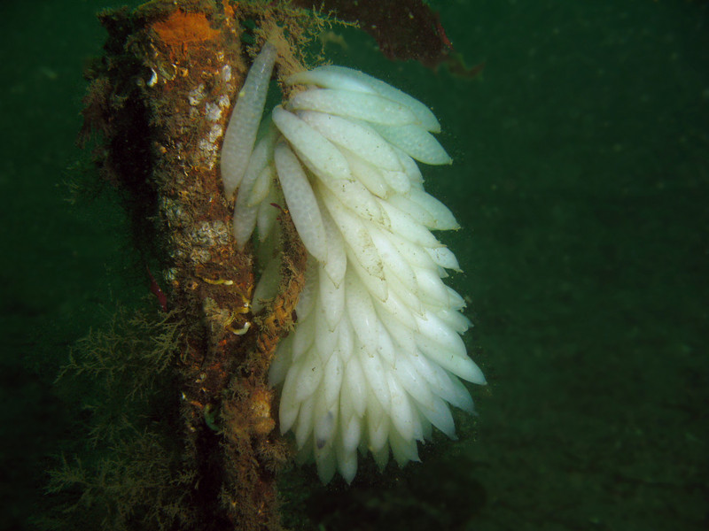 Large cluster of Squid Eggs attached to a post