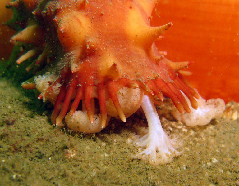 California Sea Cucumber mopping up detritus