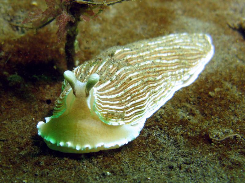Striped Nudibranch