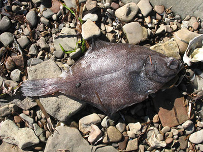 We also saw a few Rock Sole washed up on the beach too, along with a good sized male Kelp Greenling.