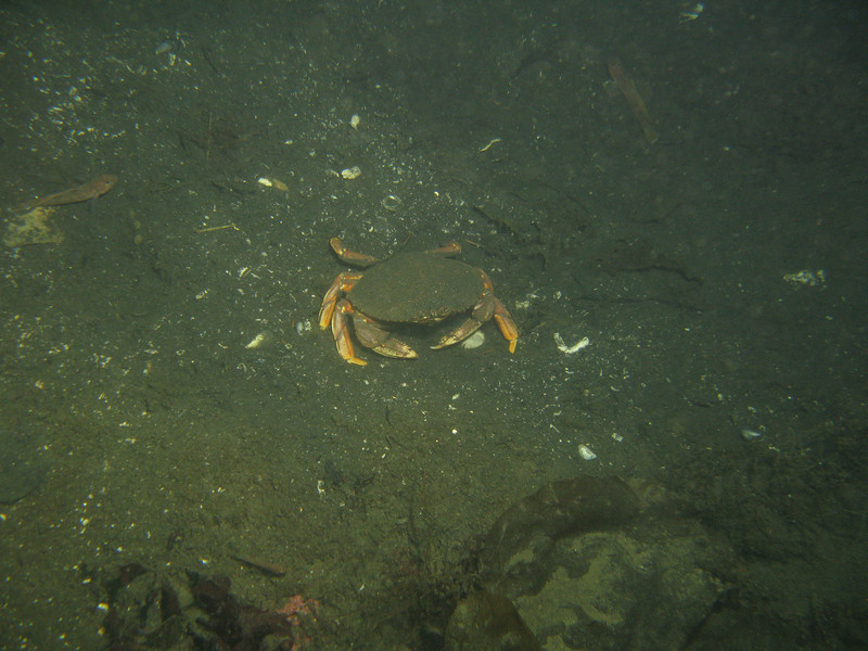 40-50 ft: Dungeness Crabs (about 20) were seen scurrying around the bottom. Normal response to divers presence (more skittish than usual actually).