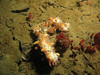 68 ft: California Sea Cucumbers also dead and decaying.