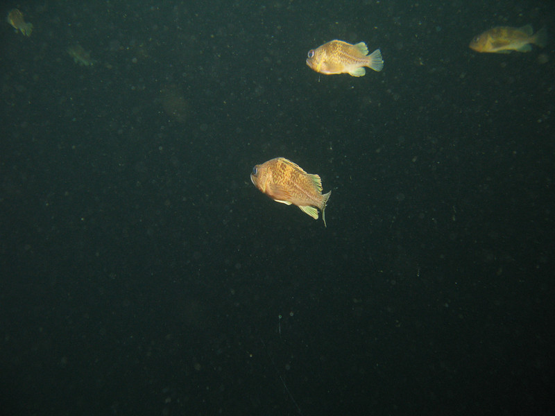 35-45 ft: Quillback juveniles swimming midwater. There was a distinct separation between Coppers and Quills.