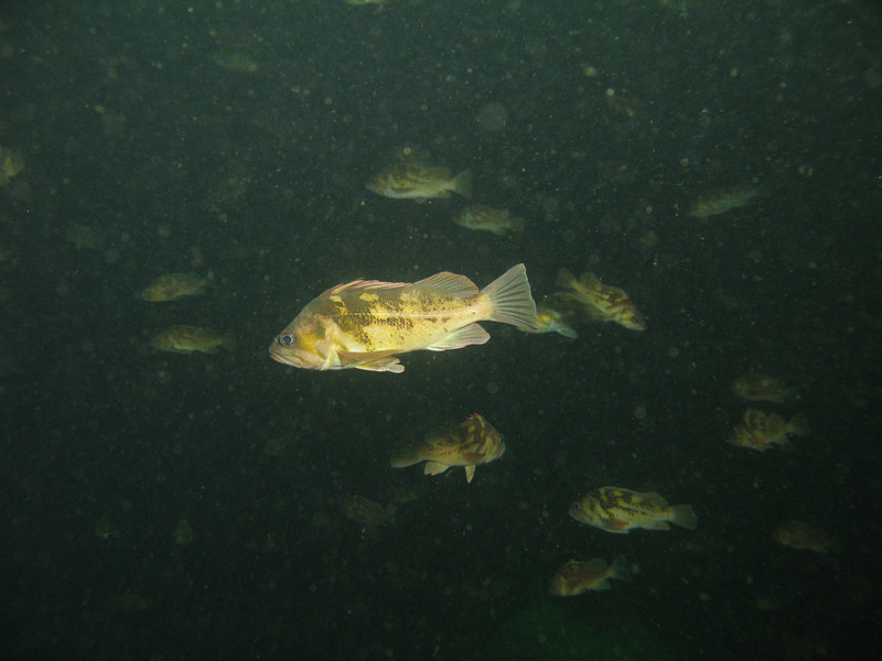 25-35 ft: Juv Copper Rockfish in midwater