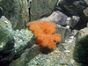 An orange plumose anemone has already moved in. The rock has been down now for only about a week.