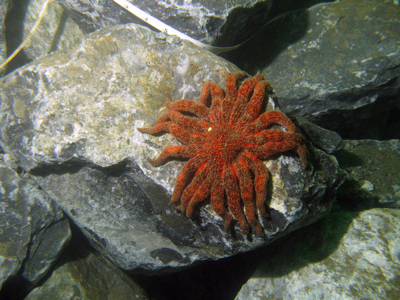 Sunflower stars were found here and there on the reef rock.