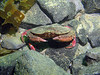 A red rock crab explores the new rock.