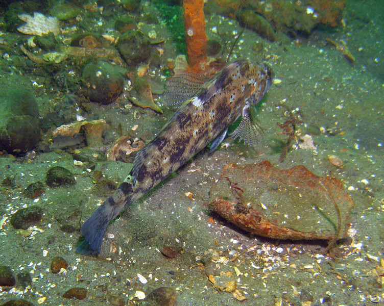 We found this really bizarre patterned Male Kelp Greenling in about 30 feet of water.