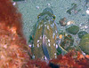 Top view of that Male Kelp Greenling