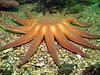 Morning sunstar - arch enemy of the Sunflower Star.