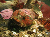 Buffalo Sculpin camouflages itself next to a tire with pink patches of Coralline algae.