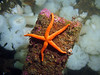 Colorful Blood Star adorns a stray piece of the old ferry dock, with a fluffy white background of Plumose anemones.