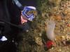 Kurt inspects a Glassy Sea Squirt