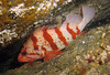 Tiger Rockfish attempting to hide in a crack