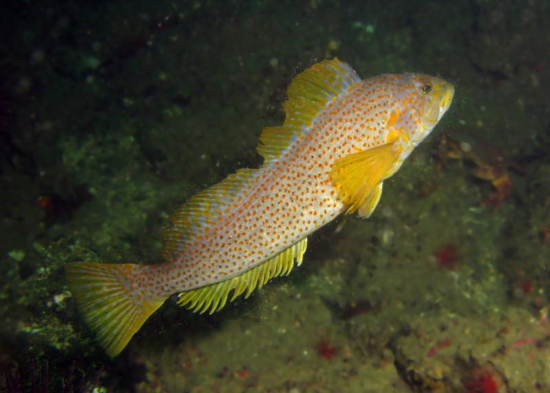 Female Kelp Greenling