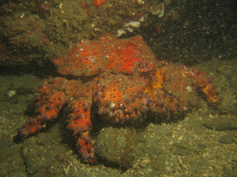 PS King Crab