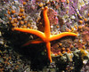 Colorful Blood Star on Orange Social Ascidian.