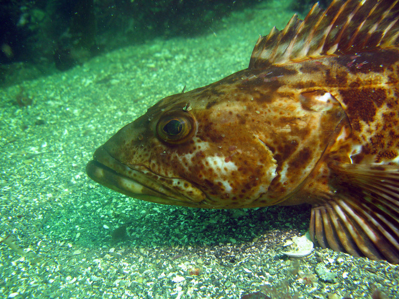 Ling cod profile
