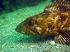 Ling cod profile