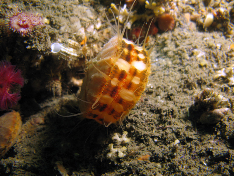 One of many Swimming Scallops at Breakfast Rock.