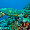 Hornbill Turtle, Red Sea