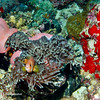 Diving, Anemonefish, Red Sea, Sharm El Sheikh, Egypt