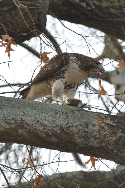 T-2018-0014b red tailed hawk