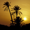 Palm Trees at Sunset, Jerba