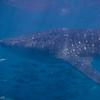 Whale Shark - Gulf of Aden, Djibouti