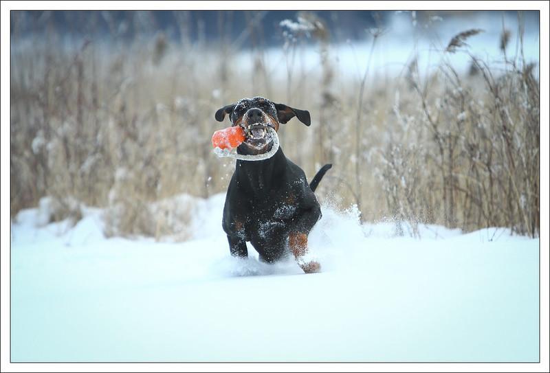Izor busar i snön