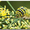 Monarch Butterfly Catepillar