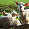 Lambs near Dockey Wood