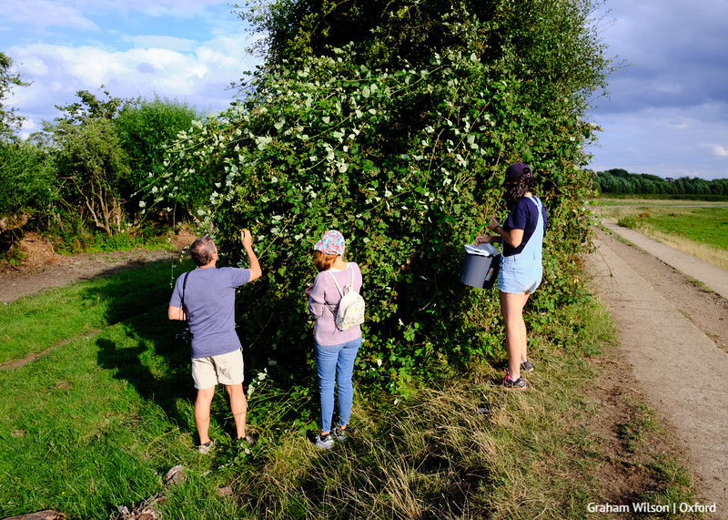 Collecting blackberries on the edge of the Burgess Field Nature Reserve