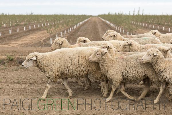 I-5 Moving Sheep - Chaos