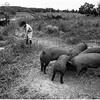 ADK Document Pig Feeding, Ellenburg Center NY