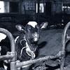 b Argyllsire Farm 1998 BarnCalfPen