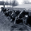 b Argyllsire Farm 1998 BleakCowsFeeding