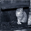 b Argyllsire Farm 1998 BarnCat