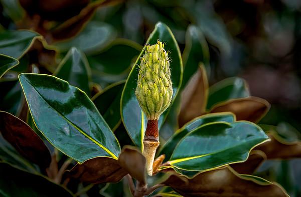 20201023-IMG_9691-Magnolia Bud