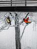 Snow Birds 2017