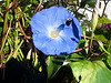 Bumble Bee and Morning Glory  2007