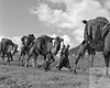 """Turkey, Caravanserai - Camels - -- <a href=""""http://globalvillagestudio.com/"""">http://globalvillagestudio.com/</a> - Photographer for Raleigh, Durham, Cary and Chapel Hill"""