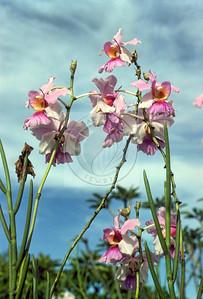 Papua New Guinea - Orchids