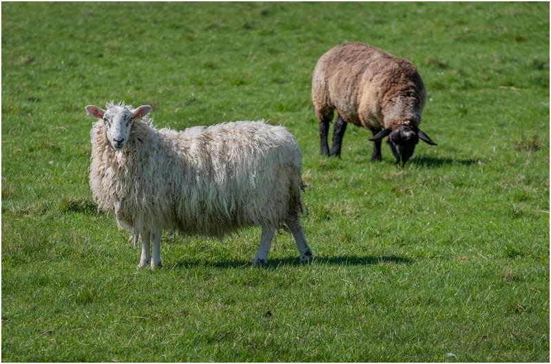 Scotland Highlands Sheep 2 May 2019