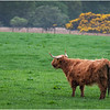 ScotlandArgyll and Butte Highland Cow 2 May 2019