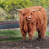 Scotland Cairngorms A924 Highland Cows 13 May 2019