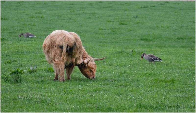 ScotlandArgyll and Butte Highland Cow 1 May 2019